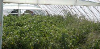 Agrosaveti---proizvodna-povrca---Mala-Vranjska---02