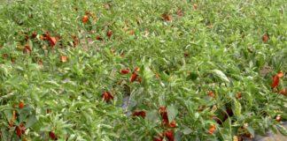 Agrosaveti---proizvodnja-semenske-paprike---03