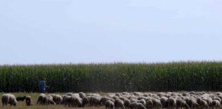 Agrosaveti---uzgoj-Il-de-France-ovaca---01