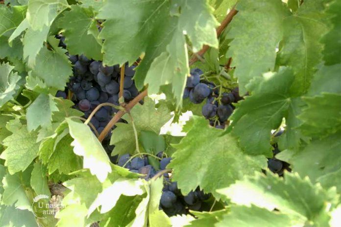 Agrosaveti---uzgoj-grozda---Kamendol---01