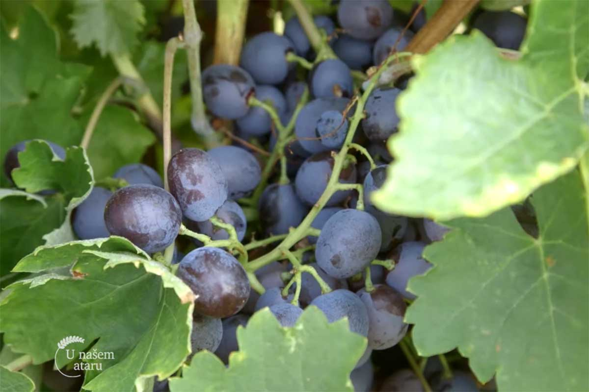 Agrosaveti---uzgoj-grozda---Kamendol---02