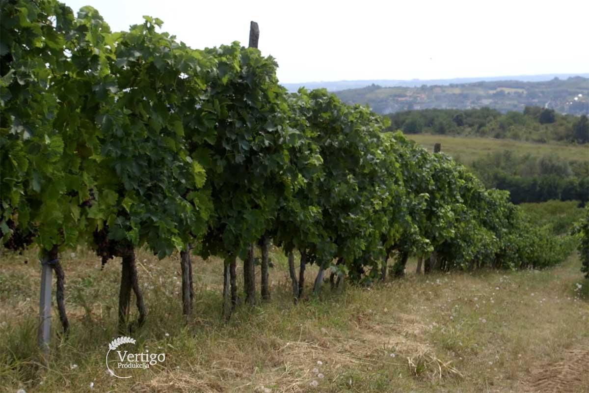 Agrosaveti---uzgoj-grozda---Kamendol---03
