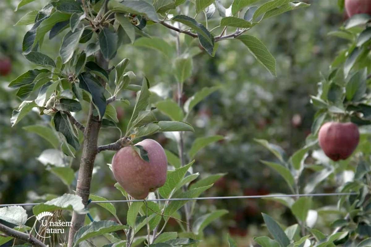 Agrosaveti---uzgoj-jabuka---Kamnedol---01