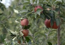 Agrosaveti---uzgoj-jabuka---Kamnedol---02