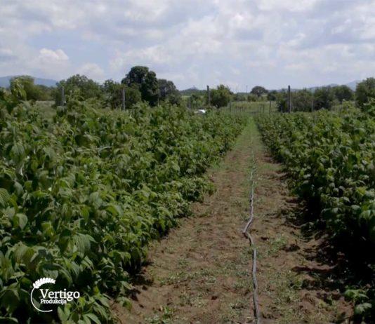 Agrosaveti---uzgoj-malina---Mivicevo---01