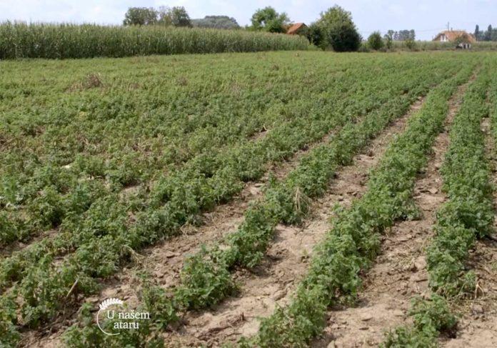 Agrosaveti---uzgoj-zacinskog-i-lekovitog-bilja---Dobric---02