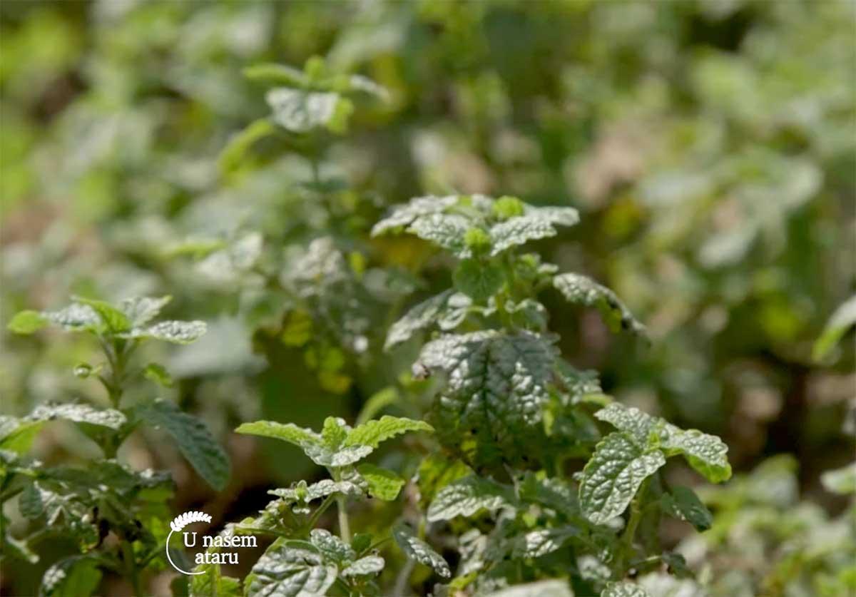 Agrosaveti---uzgoj-zacinskog-i-lekovitog-bilja---Dobric---03