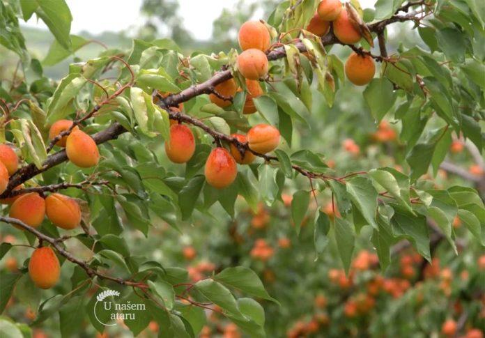 Agrosaveti---uzgoja-kajsije---Zaklopaca---02