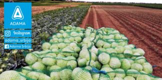 Agrosaveti---Adama---Kupus---Djurdjevo---Gordana-Gajsin---Fotkaj-plod-i-uvecaj-rod---Konkurs-04