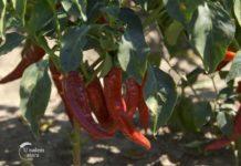Agrosaveti---Industrijska-paprika---Backi-Petrovac---02