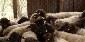 Agrosaveti---Lipska-ovca---Despotovac---01