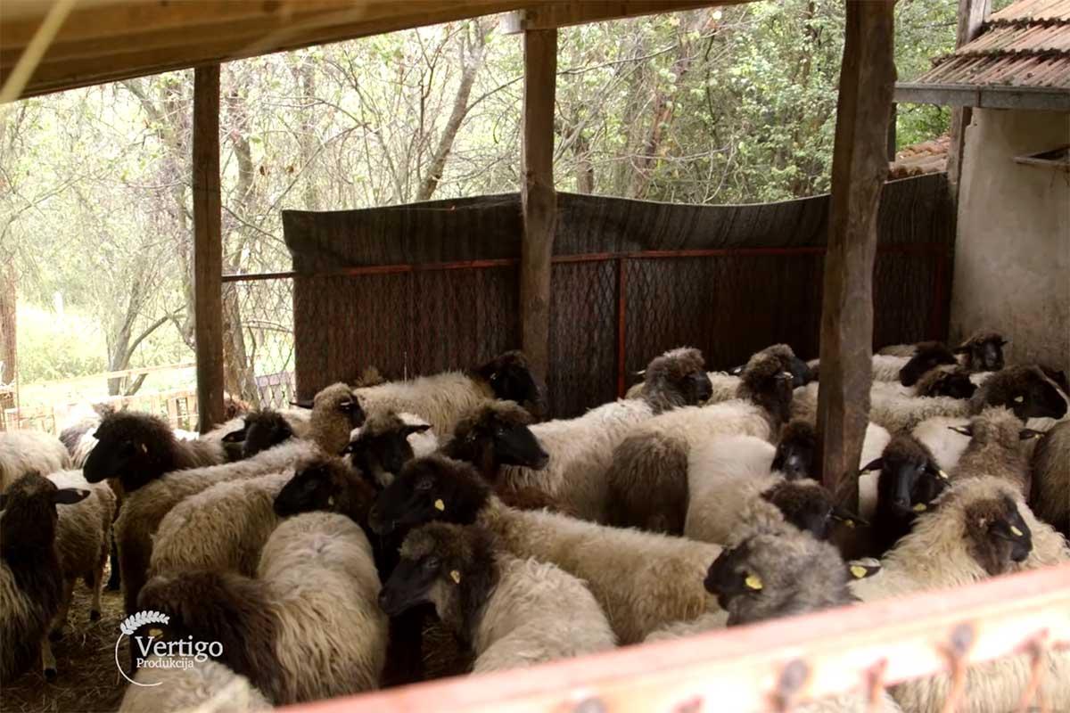 Agrosaveti---Lipska-ovca---Despotovac---02
