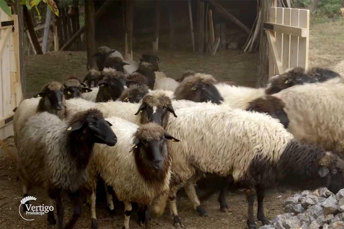Agrosaveti---Lipska-ovca---Despotovac---03