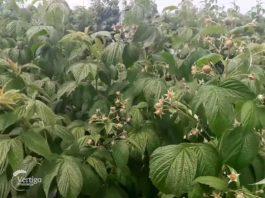 Agrosaveti---Organska-proizvodnja-malina---Backa-Palanka---03