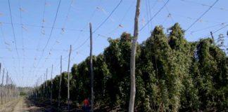 Agrosaveti---Proizvodnja-hmelja---Backi-Petrovac---04