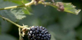 Agrosaveti---Proizvodnja-kupina---Suvodanje---01