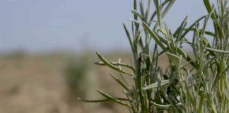 Agrosaveti---Proizvodnja-lavande---Backo-Gradiste---01