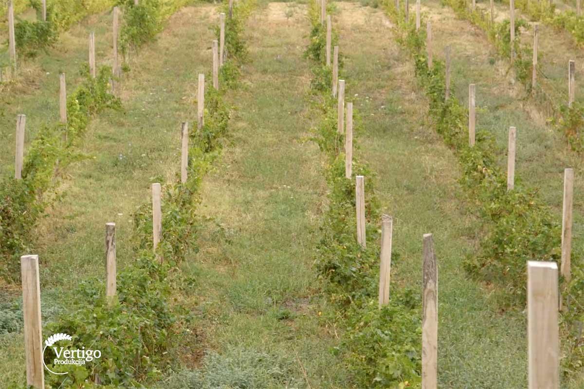 Agrosaveti---Smedervski-vinograd---02