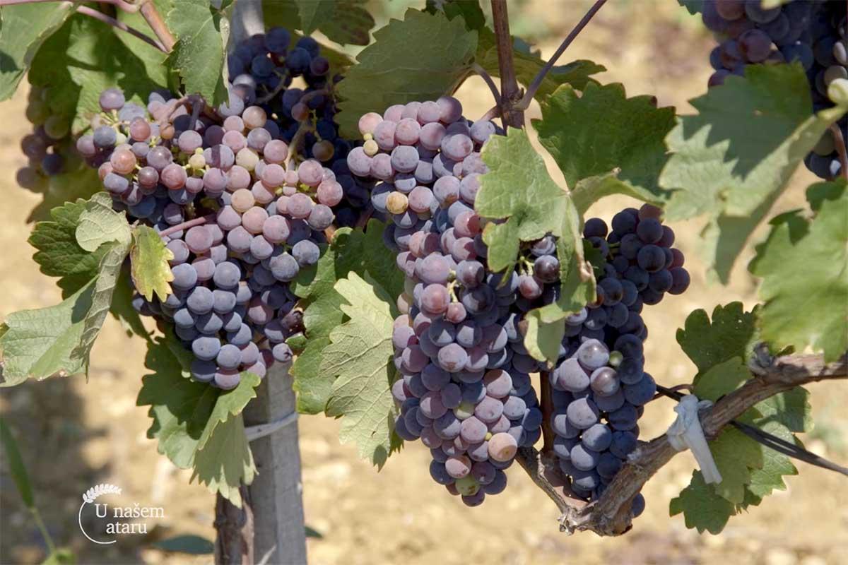 Agrosaveti---Smedervski-vinograd---03