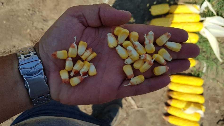 Agrosaveti---Syngenta---Arteisan-hibridi---kukuruz---01
