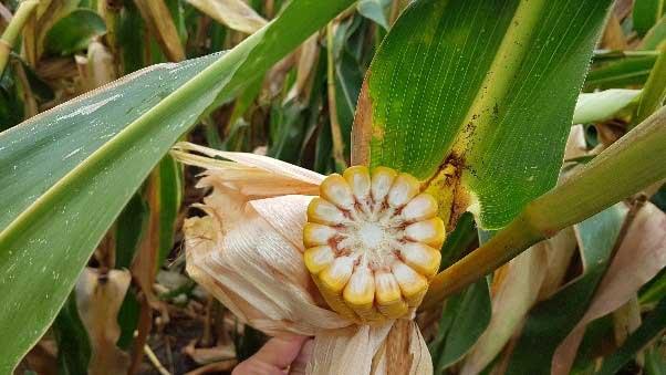 Agrosaveti---Syngenta---Arteisan-hibridi---kukuruz---04