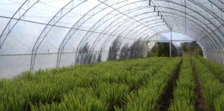 Agrosaveti---limun-trava---Kikinda---02