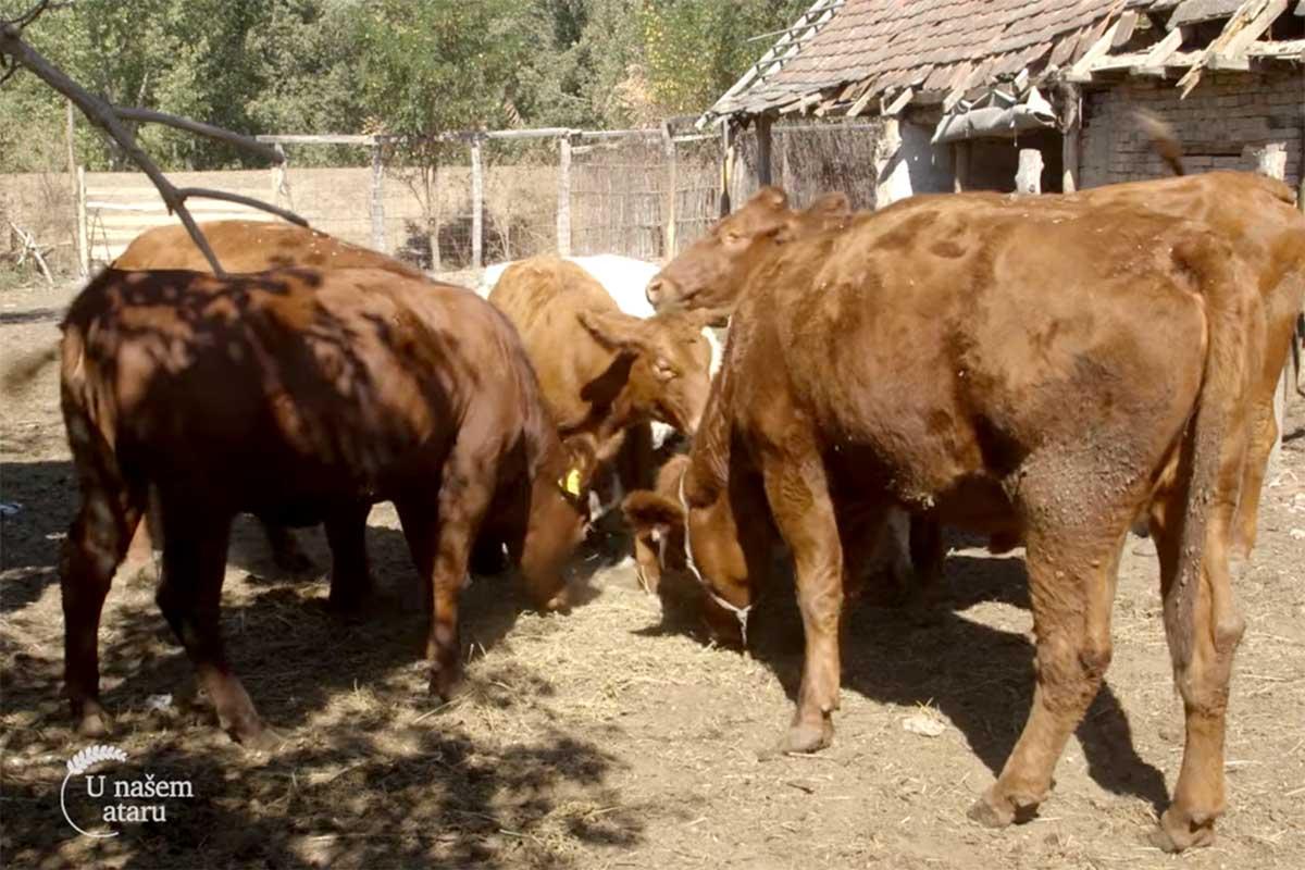 Agrosaveti---sistem-krava-tele---Sanad---01
