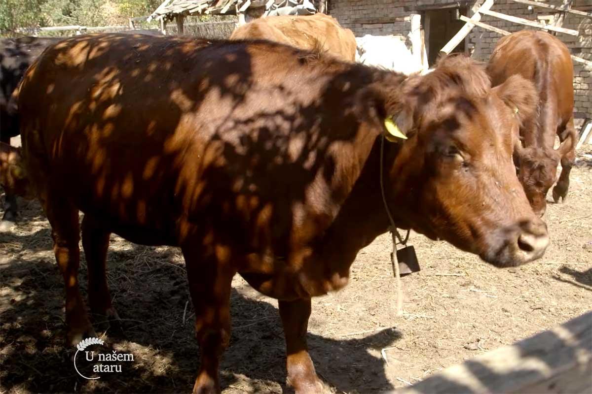 Agrosaveti---sistem-krava-tele---Sanad---02