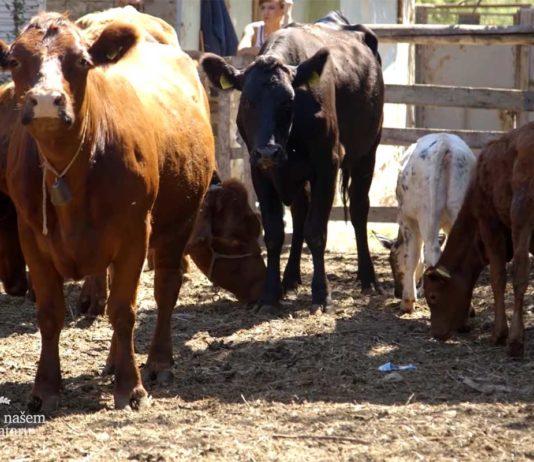 Agrosaveti---sistem-krava-tele---Sanad---03