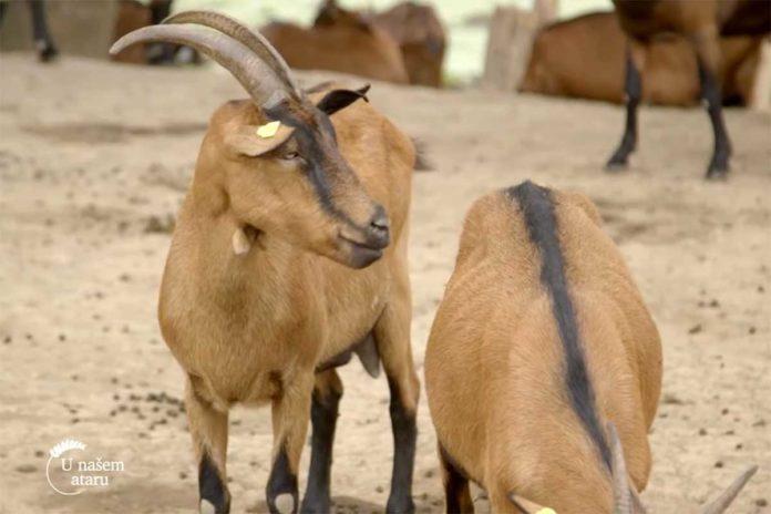 Agrosaveti---stado-koza---Radinac---01