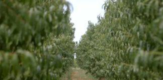 Agrosaveti---uzgoj-bresaka---Kamendol---02