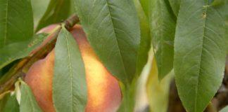 Agrosaveti---uzgoj-bresaka---Kamendol---03