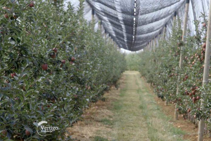 Agrosaveti---uzgoj-jabuka---Kamnedol---03
