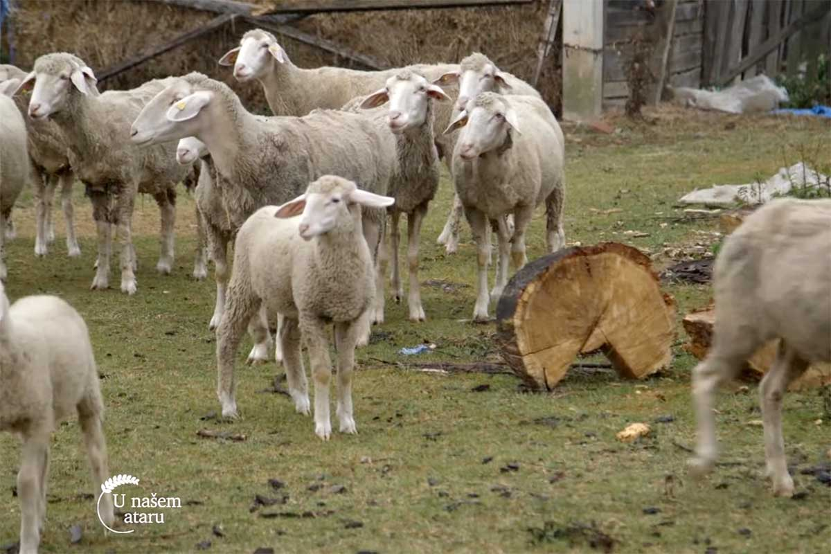 Agrosaveti---uzgoj-ovaca---tov-junadi---Dobric---03