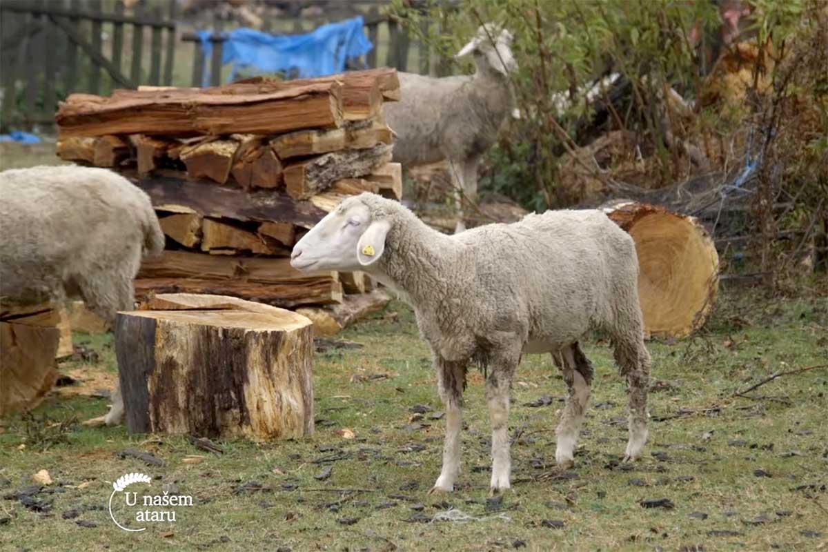 Agrosaveti---uzgoj-ovaca---tov-junadi---Dobric---04