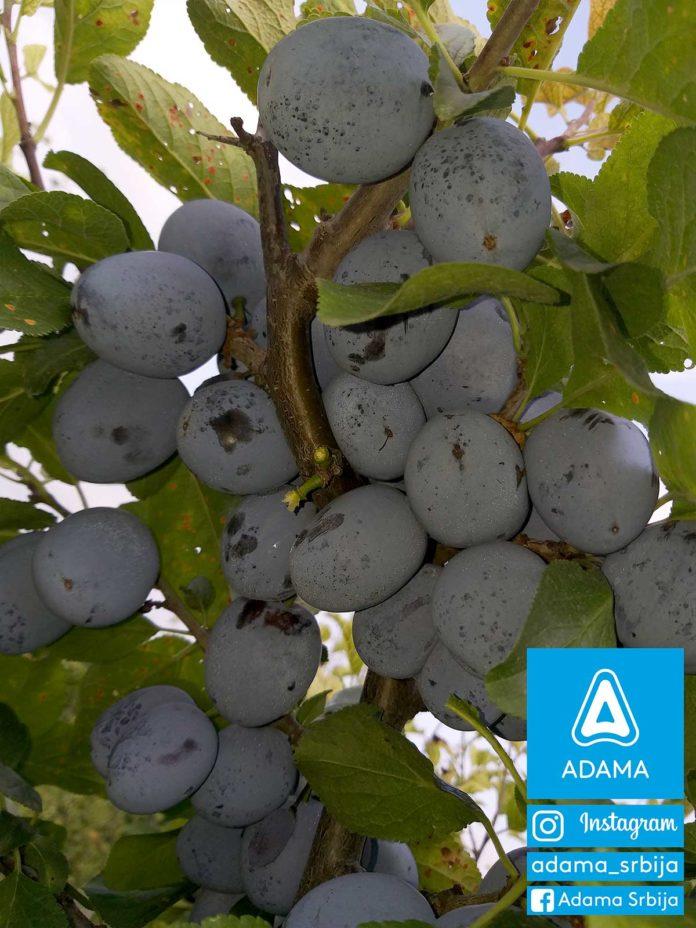 Agrosaveti---Adama---Sljiva--Gornje-Rataje---Darko-Blazic---Fotkaj-plod-i-uvecaj-rod---Konkurs-02
