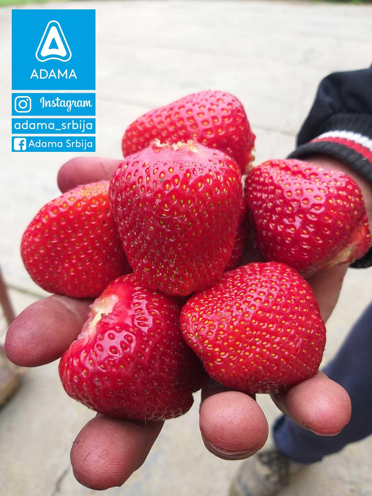 Agrosaveti---Adama---Sljiva--Gornje-Rataje---Darko-Blazic---Fotkaj-plod-i-uvecaj-rod---Konkurs-04