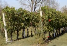 Agrosaveti---Dan mladog portugizera---Irig---01
