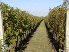 Agrosaveti---Uzgoj-vinograda---Melenci---01