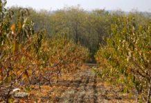 Agrosaveti---Voce---Mali-Pozarevac---breskva---sljiva---musmula---02