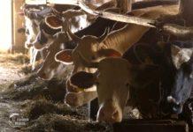 Agrosaveti---govadarska-proizvodnja---Ladjevac---02