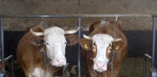 Agrosaveti---mleko---Lelic---krave---01