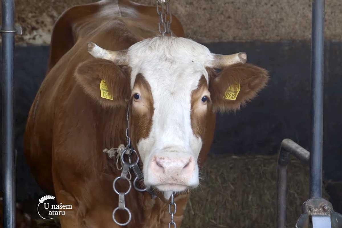 Agrosaveti---mleko---Lelic---krave---02