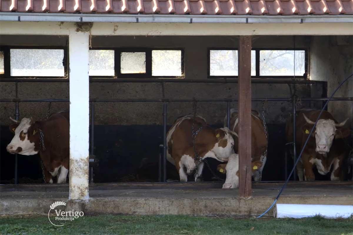 Agrosaveti---mleko---Lelic---krave---03