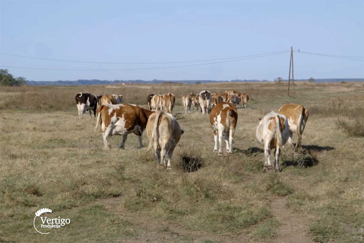 Agrosaveti---muzne-krave---Muzlja---mleko---02