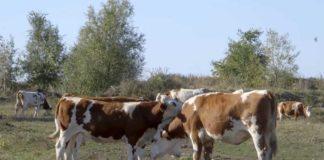Agrosaveti---muzne-krave---Muzlja---mleko---03