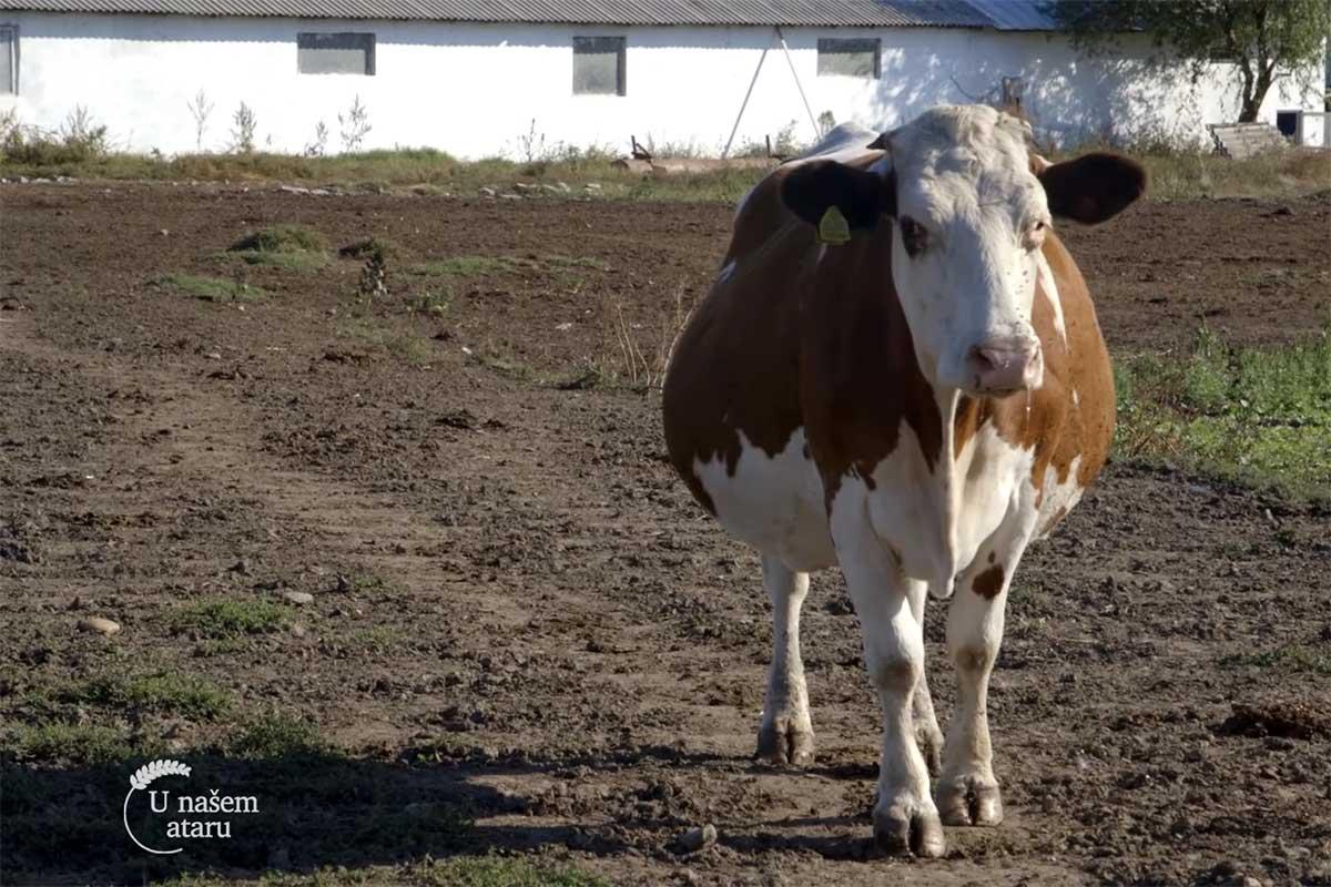 Agrosaveti---muzne-krave---Muzlja---mleko---04