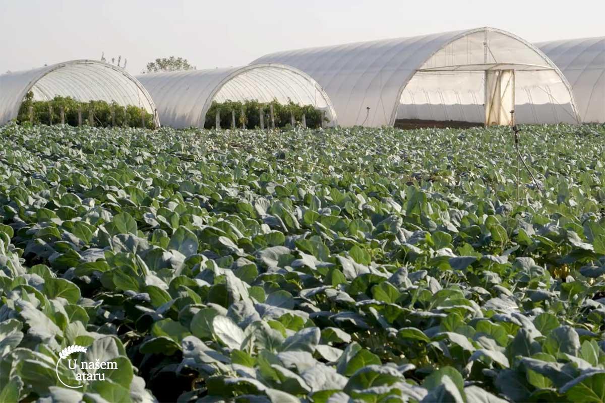 Agrosaveti---proizvodnja-keleraba---Muzlja---01