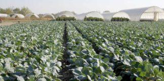 Agrosaveti---proizvodnja-keleraba---Muzlja---02