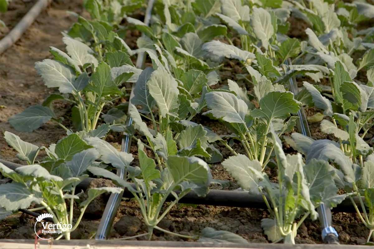 Agrosaveti---proizvodnja-keleraba---Muzlja---03